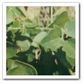 ギムネマシルベスタの葉